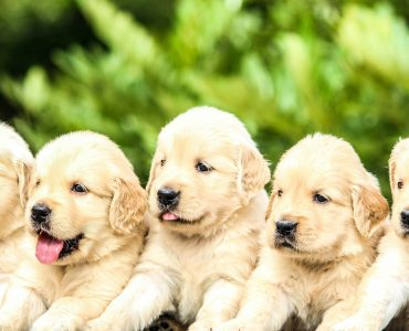 five yellow Labrador retriever puppies